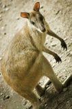 Australisk vallaby Royaltyfri Fotografi