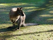 Australisk vallaby på grön gräsmatta, i att dalta zoo Royaltyfria Bilder
