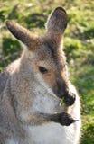 Australisk vallaby som äter sidor Royaltyfri Fotografi