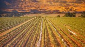 Australisk vingård på solnedgången Royaltyfria Bilder