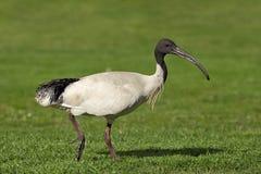 Australisk vit ibis. Arkivfoto