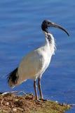 Australisk vit ibis Royaltyfri Bild