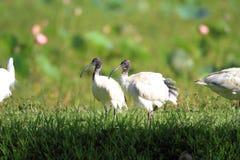 Australisk vit ibis Arkivfoton