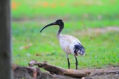 Australisk vit ibis Arkivfoto