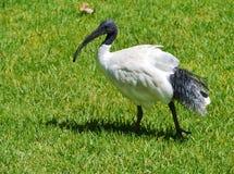 Australisk vit ibis med ett svart huvud Arkivbild