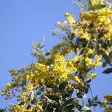 Australisk Wattle i blom 2 Arkivfoto