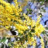 Australisk Wattle i blom 3 Arkivfoton