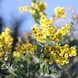 Australisk Wattle i blom 1 Royaltyfria Bilder