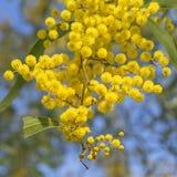 Australiska blommor för guld- Wattle för symbol Fotografering för Bildbyråer