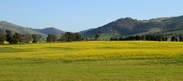 Australiska Canolafält Royaltyfria Bilder