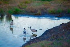 Australiska fåglar som söker efter mat i dammet runt om Brisbane, Australien Australien är en kontinent som lokaliseras i den söd arkivbilder