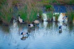 Australiska fåglar som söker efter mat i dammet runt om Brisbane, Australien Australien är en kontinent som lokaliseras i den söd royaltyfri fotografi