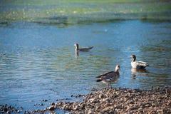 Australiska fåglar som söker efter mat i dammet runt om Brisbane, Australien Australien är en kontinent som lokaliseras i den söd royaltyfria bilder
