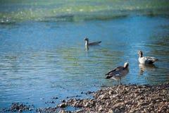 Australiska fåglar som söker efter mat i dammet runt om Brisbane, Australien Australien är en kontinent som lokaliseras i den söd arkivfoton