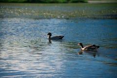 Australiska fåglar som söker efter mat i dammet runt om Brisbane, Australien Australien är en kontinent som lokaliseras i den söd arkivfoto