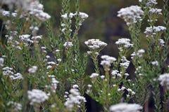 Australiska infödda blommor av Conospermumellipticumen, arkivfoton