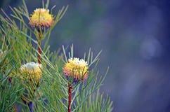 Australiska infödda bred-blad trumpinneblommor royaltyfri fotografi
