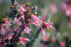 Australiska infödda rosa Fem-hörn blommar, Stypheliatrifloraen, royaltyfri foto