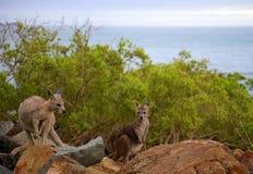 Australiska kängurur på ön Royaltyfria Foton