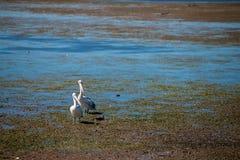 Australiska pelikan som söker efter mat på stranden runt om Brisbane, Australien Australien är en kontinent som lokaliseras i den royaltyfri bild