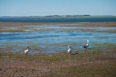 Australiska pelikan som söker efter mat på stranden runt om Brisbane, Australien Australien är en kontinent som lokaliseras i den royaltyfri foto