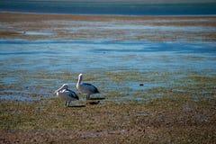 Australiska pelikan som söker efter mat på stranden runt om Brisbane, Australien Australien är en kontinent som lokaliseras i den arkivfoton