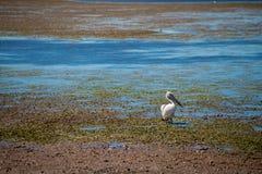 Australiska pelikan som söker efter mat på stranden runt om Brisbane, Australien Australien är en kontinent som lokaliseras i den royaltyfri fotografi