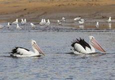 Australiska pelikan stänger sig upp arkivbild