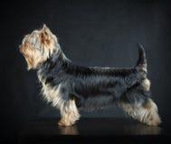 Australiska silkeslena Terrier Royaltyfria Foton