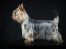 Australiska silkeslena Terrier Royaltyfri Foto
