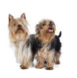 Australiska silkeslena Terrier Royaltyfri Fotografi