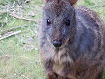 Australiska Tasmanian Pademelon Fotografering för Bildbyråer