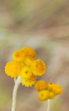 Australiska vårvildblommor gula Billy Buttons Royaltyfri Bild