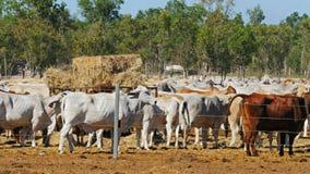 Australiskt brahmannötköttnötkreatur rymms på en nötkreaturgård stock video