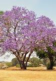 Australiskt jakarandaträd som mycket blomstrar av purpurfärgade violetta blommor Arkivfoton