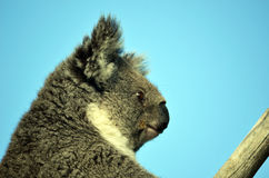 Australiskt koalasammanträde i en eukalyptusträd Fotografering för Bildbyråer