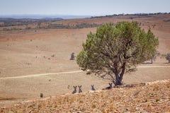 Australiskt landskap med kängurur under trädet royaltyfri foto