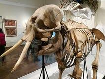Australiskt museum för elefantskelett @ Arkivfoto