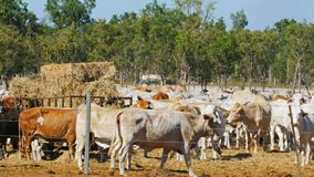 Australiskt nötköttnötkreatur på en nötkreaturgård i darwin arkivfilmer