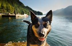 Australiskt nötkreaturhundanseende på skeppsdocka Royaltyfria Bilder
