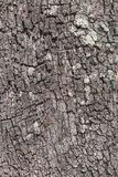 Australiskt sörja trädet Arkivfoto