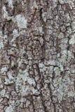 Australiskt sörja trädet Arkivbild