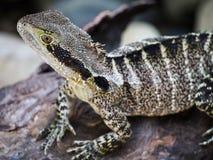 Australiskt vatten Dragon Lizard Sunning vaggar på Royaltyfria Foton