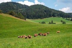 australites Αγελάδες σε ένα πράσινο αλπικό λιβάδι μια θερινή ημέρα, μπλε ουρανός, τοπίο βουνών στοκ εικόνες