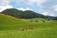 australites Αγελάδες σε ένα πράσινο αλπικό λιβάδι μια θερινή ημέρα, μπλε ουρανός, τοπίο βουνών στοκ εικόνα με δικαίωμα ελεύθερης χρήσης