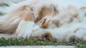 Australlian ποιμένας σκυλιών απόθεμα βίντεο