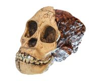 Australopithecus africanus Skull . Taung Child . Dated to 2.5 million years ago . Discovered in 1924 in a limestone quarry nea royalty free stock photography