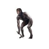 Australopithecus Royalty Free Stock Images
