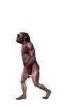 Australopithecus. Digital watercolor illustration of a australopithecus Royalty Free Stock Photos