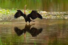 Australska Anhinga - novaehollandiae Anhinga - ξεραίνοντας φτερά Australasian Darter Στοκ Φωτογραφίες